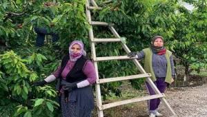 432 gönüllü 150 üreticiye meyve hasadına gidiyor