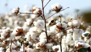 Pamuk 'Beyaz Altın' olduğu günlerin özlemini duyuyor
